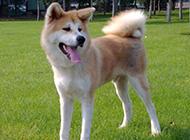 動作敏捷的純種日本秋田犬圖片
