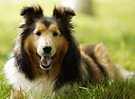 可靠忠实的喜乐蒂牧羊犬图片