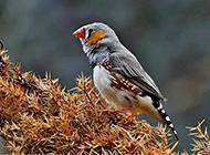 玲珑娇小的灰珍珠鸟高清图片