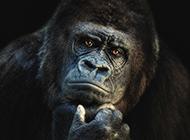 可爱大猩猩图片表情逗趣