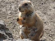 爱吃的土肥圆土拨鼠图片