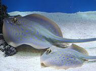 不爱游动的淡水鳐鱼图片
