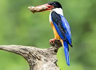 廣西荊棘鳥吃蟲子圖片
