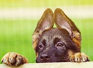 探头探脑的德国牧羊犬图片欣赏