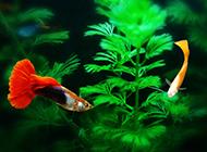 可爱活泼的孔雀鱼图片欣赏