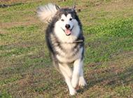 大型犬類阿拉斯加犬的圖片大全