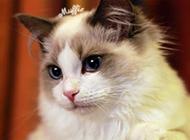 人气超高的网红布偶猫图片大全
