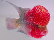 头部鲜红的元宝罗汉鱼图片
