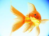 可愛的小金魚微距特寫圖片