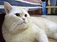 白英短猫图片坐姿慵懒散漫