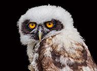 黑夜中的可爱猫头鹰图片