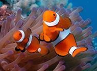 海底可愛的小丑魚壁紙