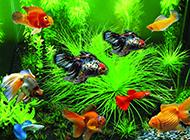 觀賞魚鳳尾魚圖片可愛又漂亮