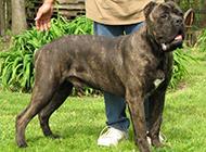 最大的黑色卡斯羅犬圖片欣賞