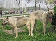 中華狼青犬戶外玩耍圖片
