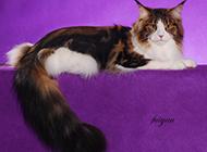 优雅高贵的缅因猫图片