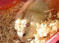 模樣可愛的布丁倉鼠圖片