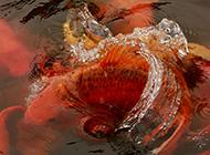 大紅錦鯉水中歡騰圖片
