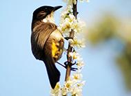 小巧机灵的黄鹂鸟图片