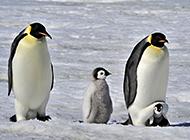 憨态可掬的南极企鹅图片欣赏