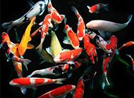 日本錦鯉魚池戲耍圖片