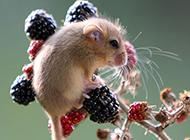 貪吃愛睡的榛睡鼠圖片