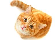 抬头看镜头的黄色猫咪图片