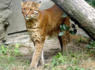 野生金貓圖片姿態霸氣