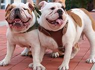 龇牙咧嘴的斗牛犬霸气图片