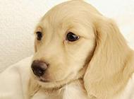 迷你呆萌的腊肠犬高清写真图片