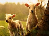 綿羊圖片大全可愛草原動物壁紙