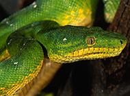顏色獨特的大翡翠蟒蛇圖片
