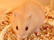 布丁倉鼠吃食物的圖片