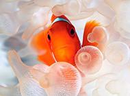 斑斕可愛的紅小丑魚圖片