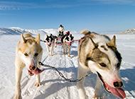一股狼风范的苏格兰雪橇犬图片
