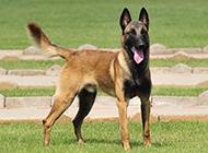 国外最帅气的狗马犬图片欣赏