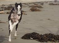 黑白靈緹犬海邊自由奔跑圖片