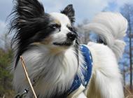 反應機警的寵物狗蝴蝶犬圖片