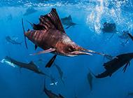 海洋深處的生物各種旗魚圖片