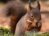 活泼顽皮的森林棕色松鼠图片