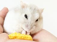奶茶仓鼠吃东西图片大全