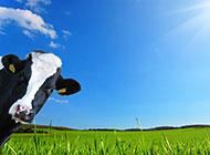 草地上的黑白花奶牛图片