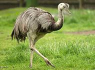 非洲鴕鳥姿態優雅圖片