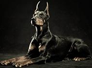 最大杜宾犬意境写真图片大全
