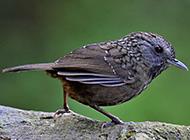 鸟类动物短尾鹪鹛摄影图片