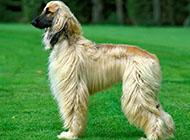 純種高貴阿富汗獵犬圖片