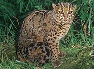 重點保護動物野生云貓圖片大全