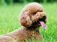 可爱的泰迪犬狗超萌图片