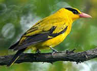 黑枕黄鹂鸟羽衣鲜丽图片