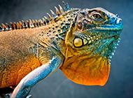色彩鮮艷的冷血動物小蜥蜴圖片